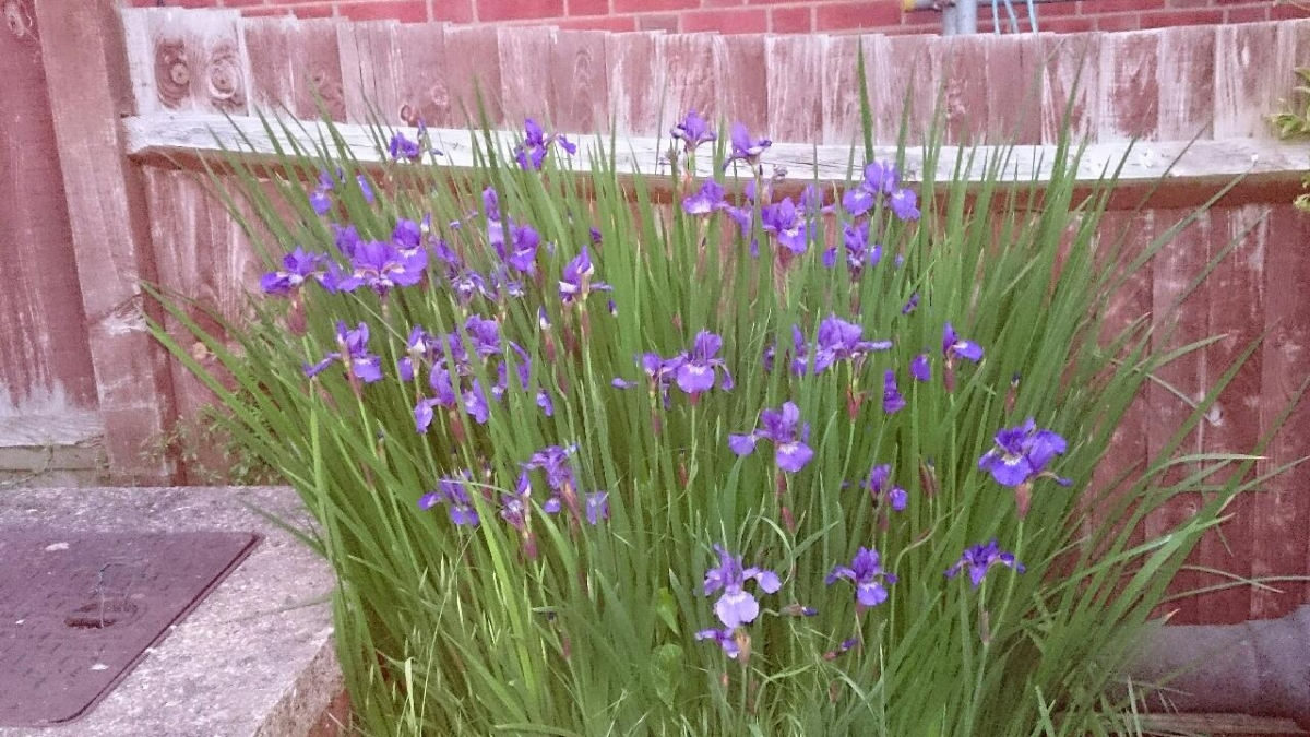Tamesis in bloom